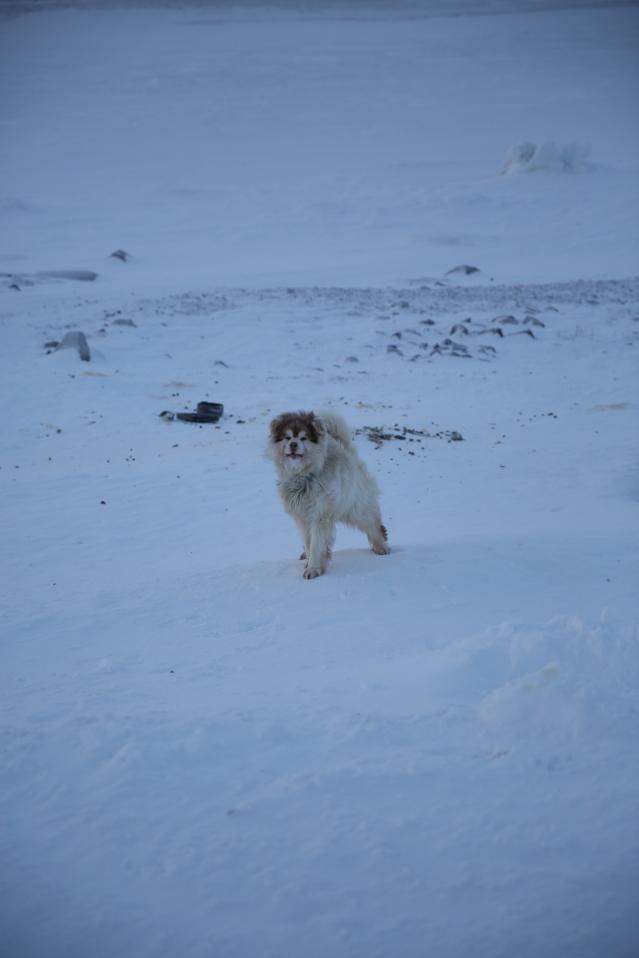 Arctic pups