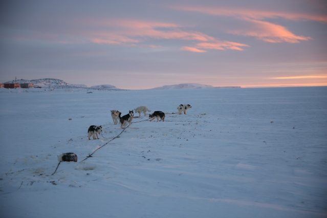 Inuit dog team